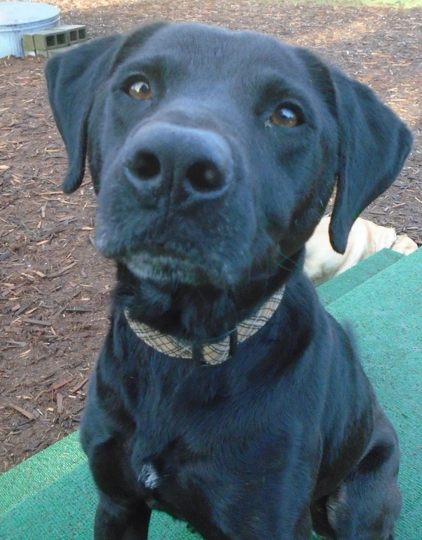 Issaquah, WA - Labrador Retriever. Meet Kalani Maui Maui a Dog for ...