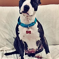 Adopt A Pet :: Jodi - Whitestone, NY