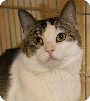Domestic Shorthair Cat for adoption in Medford, Massachusetts - Tucket