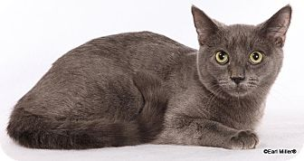 Domestic Shorthair Cat for adoption in Las Vegas, Nevada - Silver