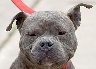 American Pit Bull Terrier Mix Dog for adoption in New Haven, Connecticut - GRANDMA