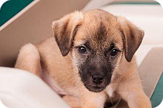 Pomeranian Mix Puppy for adoption in Dacula, Georgia - Fiona