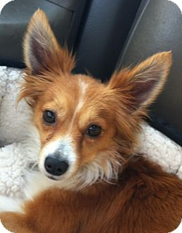 Sheltie, Shetland Sheepdog/Chihuahua Mix Dog for adoption in Studio City, California - Bowie