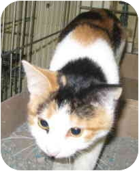 Calico Cat for adoption in Stillwater, Oklahoma - Miss Murphy