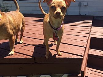 Chihuahua Mix Dog for adoption in Austin, Texas - Bella