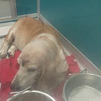 Adopt A Pet :: Topaz - Albuquerque, NM