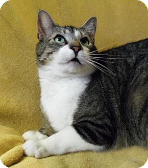 American Shorthair Cat for adoption in Spencer, New York - Arthur
