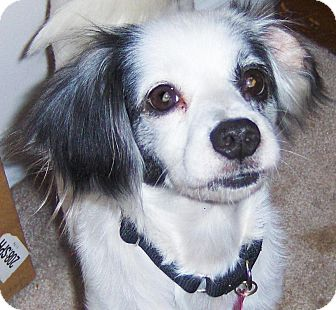Papillon/Chihuahua Mix Dog for adoption in Jacksonville, Florida - Patches