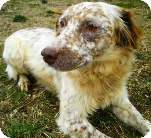Brittany/Spaniel (Unknown Type) Mix Dog for adoption in Lincolnton, North Carolina - Marbles
