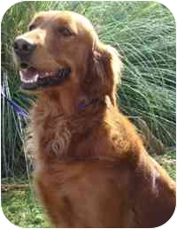 Brenham Tx Irish Setter Meet Chrissy A Pet For Adoption