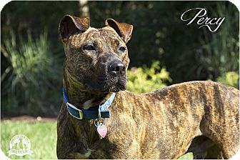 American Pit Bull Terrier Mix Dog for adoption in Warsaw, Indiana - Perseus