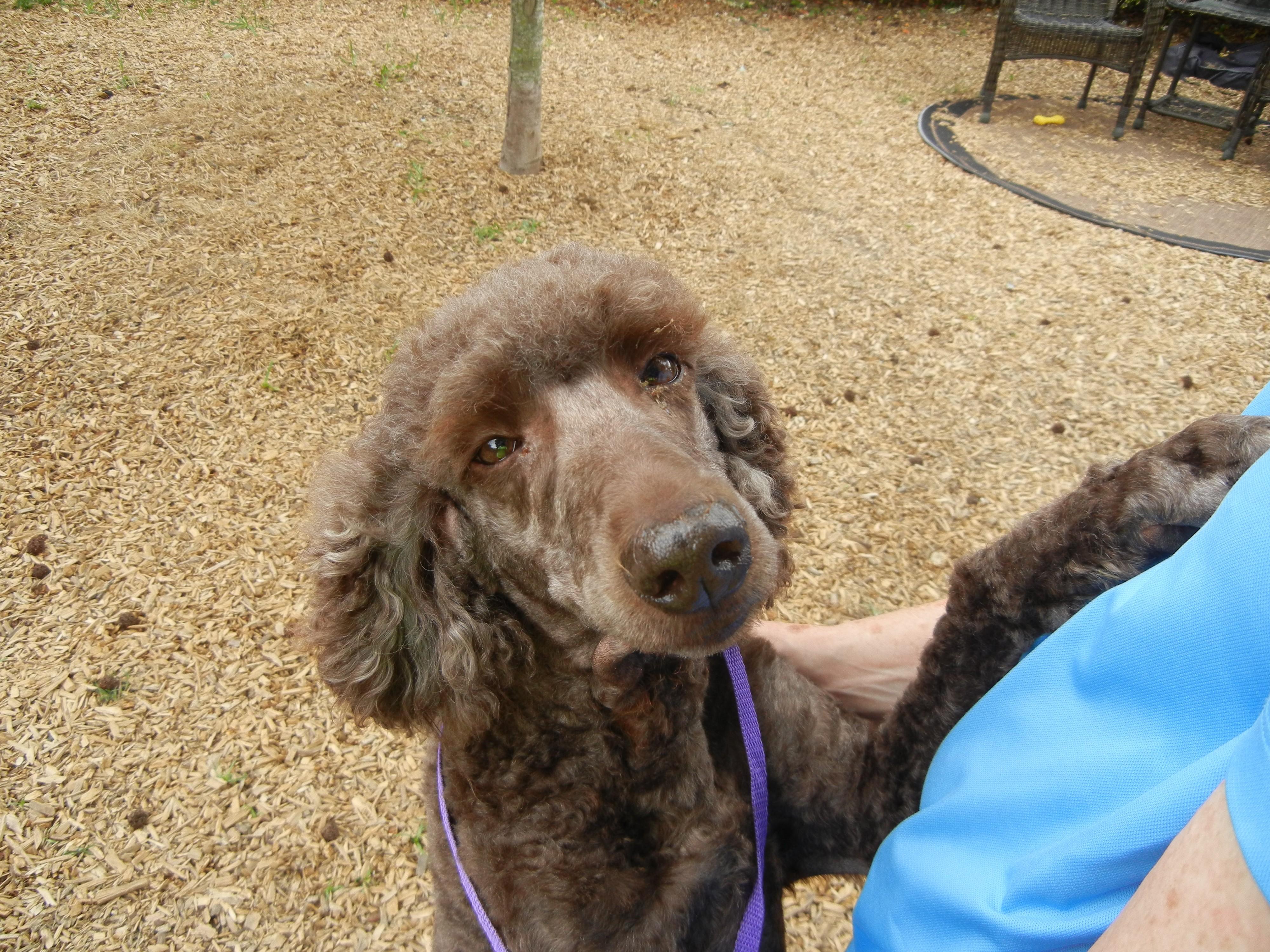 Houston Tx Standard Poodle Meet Mia A Pet For Adoption