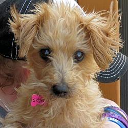 Maltese Puppies for Sale in Oklahoma - Adoptapet com