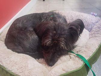 Adopt A Pet :: Trie  - Renton, WA