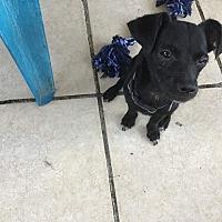 Bichon Frise Puppies for Sale in Alberta - Adoptapet com