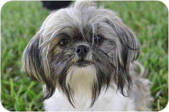 Austin Tx Shih Tzu Meet Tieg A Pet For Adoption