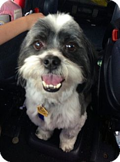 Nashville Tn Shih Tzu Meet Bandit A Pet For Adoption