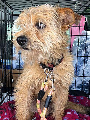 Palm Bay Fl Border Terrier Meet Benji A Pet For Adoption