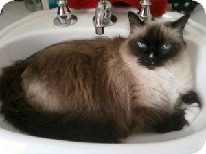 Himalayan Cat for adoption in Prescott, Arizona - Sassy