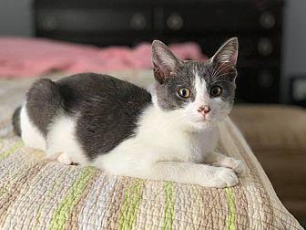 Adopt A Pet :: Andy  - Troy, MI