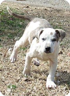 Australian Cattle Dog Mix Puppy for adoption in Williston, Vermont - Aspen