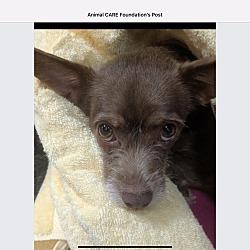 Dachshund Puppies for Sale in Winston-Salem North Carolina