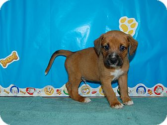 North Judson In Boxer Meet Brach A Pet For Adoption