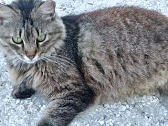 Adopt A Pet :: Part Maine Coon needs home  - Ft Myers Beach, FL