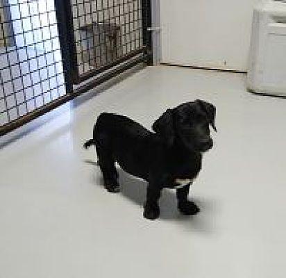 Hartford Ky Dachshund Meet Mickey A Pet For Adoption