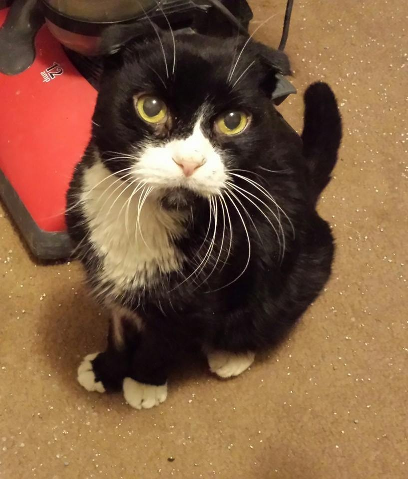 Putnam, CT - Scottish Fold  Meet Simon a Pet for Adoption