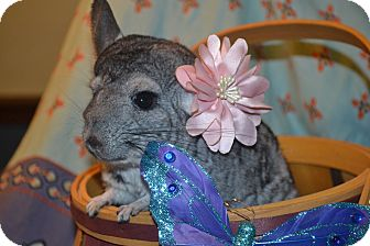 Chinchilla for adoption in Lindenhurst, New York - Apache