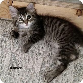 Domestic Shorthair Kitten for adoption in Portland, Oregon - Gulliver
