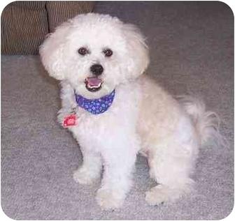 Lhasa Apso/Poodle (Miniature) Mix Dog for adoption in Palatine, Illinois - Shelby