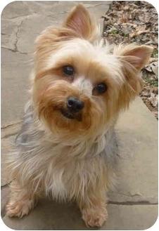Yorkie, Yorkshire Terrier Dog for adoption in Greensboro, North Carolina - Sparky