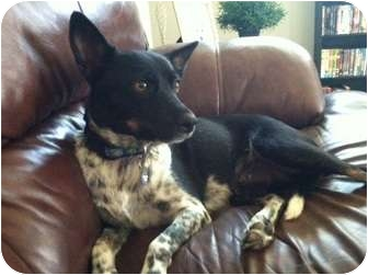 Phoenix Az Rat Terrier Meet Gidget A Pet For Adoption