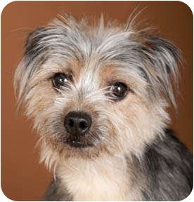 Chicago Il Yorkie Yorkshire Terrier Meet Andrea A Dog For Adoption