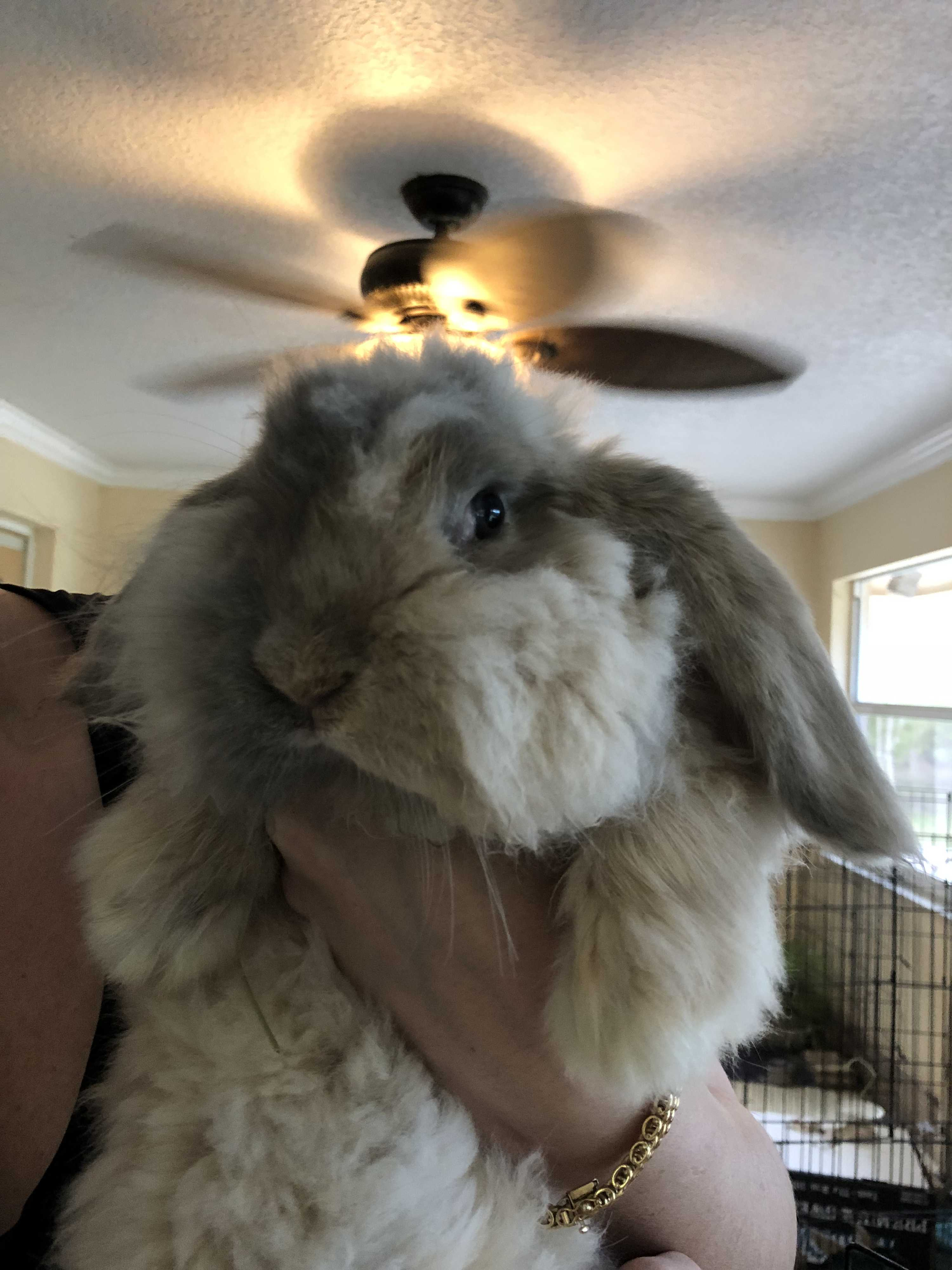 West Palm Beach Fl American Fuzzy Lop Meet Fluffy A Pet
