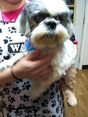 Ashland Ky Shih Tzu Meet Ms Charlee A Pet For Adoption