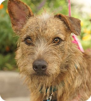 Houston, TX - Fox Terrier (Wirehaired). Meet Frida (beautiful!) a ...
