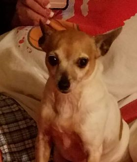 Chihuahua Dog for adoption in Ardmore, Oklahoma - Bella
