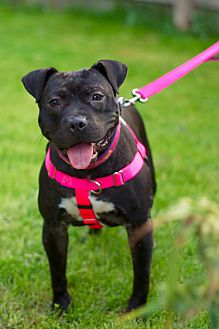Adopt A Pet :: Isla Ray  - Troy, MI