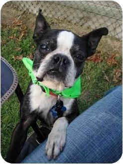 Kansas City, MO - Boston Terrier. Meet Beasley a Pet for Adoption.