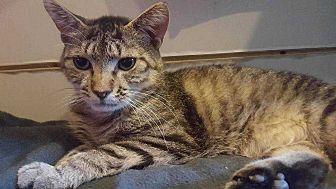 Domestic Shorthair Cat for adoption in Harleysville, Pennsylvania - Tigger2