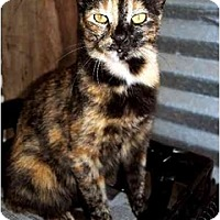 Domestic Shorthair Cat for adoption in Thibodaux, Louisiana - Sunflower FE1-7322