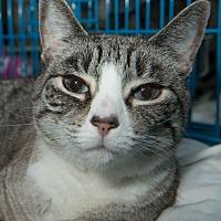 Siamese Kittens for Sale in New York - Adoptapet com