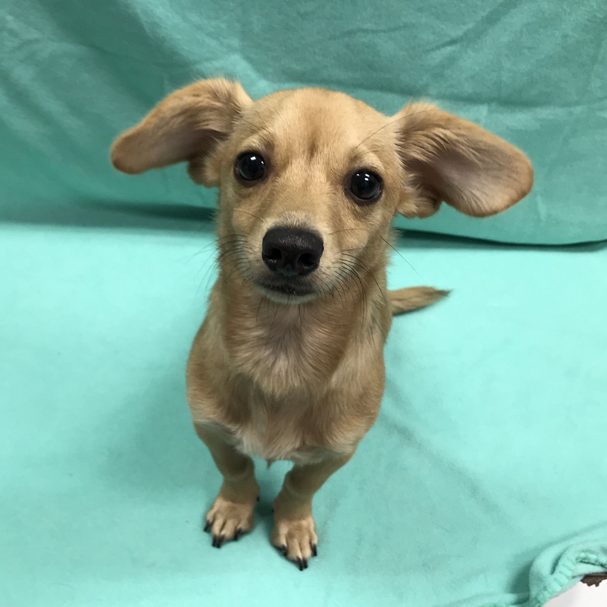 San Leon, TX - Dachshund. Meet Dottie a Dog for Adoption.