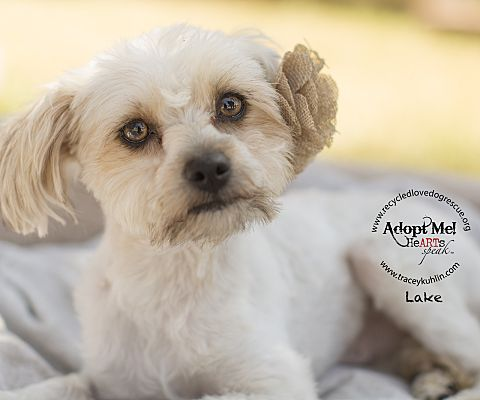 Inland Empire Ca Shih Tzu Meet Lake A Dog For Adoption