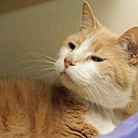 Adopt A Pet :: DREAMSICLE - Pittsburgh, PA