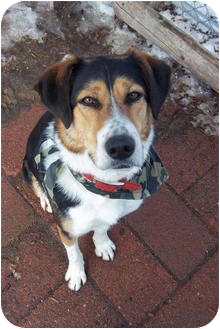 Beagle/Foxhound Mix Dog for adoption in kennebunkport, Maine - Tex - PENDING!