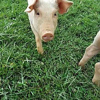 Adopt A Pet :: Rosey - Asheville, NC
